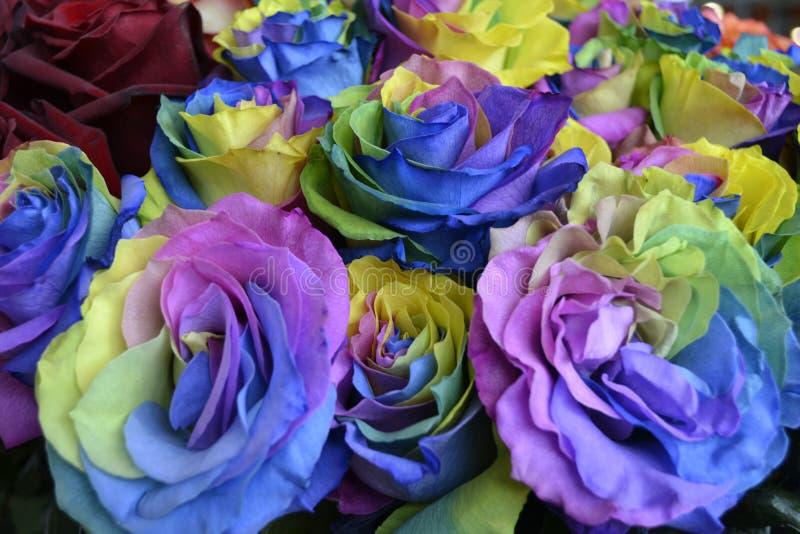 色的玫瑰 图库摄影