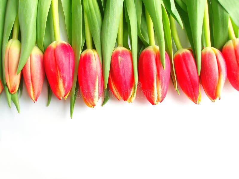 色的红色郁金香 免版税图库摄影