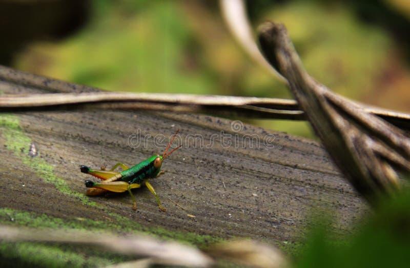 色的蚂蚱在热带森林里 免版税库存照片