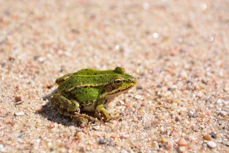 绿色的青蛙一点 免版税库存图片