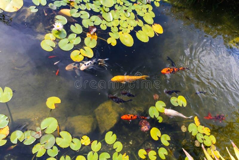 色的鲤鱼在池塘 库存照片