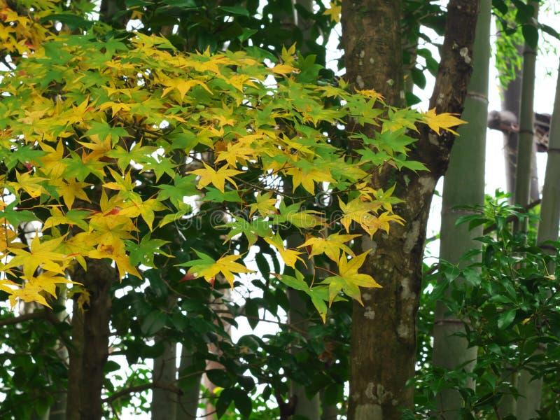 Download 色的鸡爪枫 库存照片. 图片 包括有 晒裂, 日语, 上色, 旅游业, 旅行, 秋天, 日本, 普遍, 槭树 - 62533946