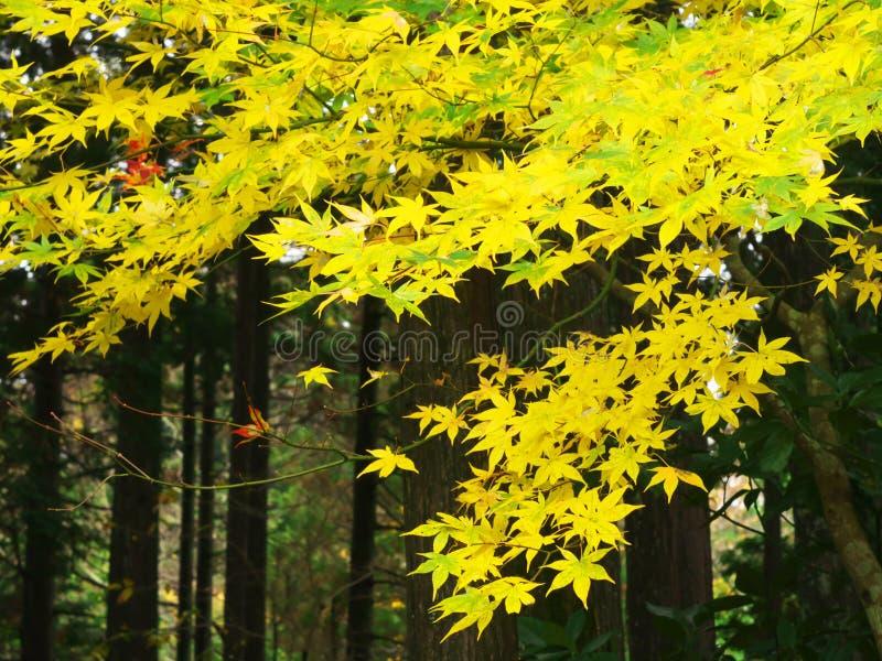Download 色的鸡爪枫 库存照片. 图片 包括有 自治权, 晒裂, 红色, 上色, 普遍, 旅游业, 槭树, 日语, 日本 - 62533984