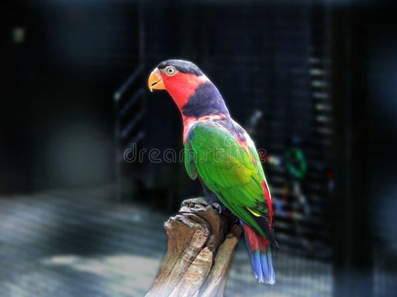 色的鹦鹉彩虹 库存图片