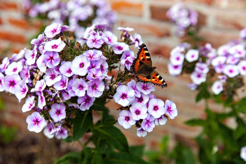 色的蝴蝶坐白色福禄考 库存照片