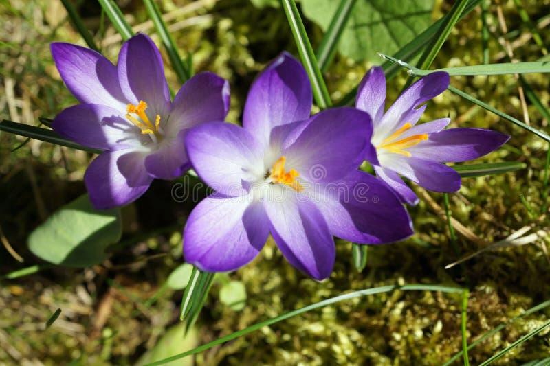 紫色的crocusses 免版税库存图片