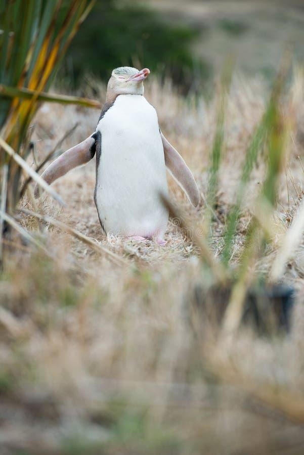 黄色目的企鹅,新西兰 免版税库存照片