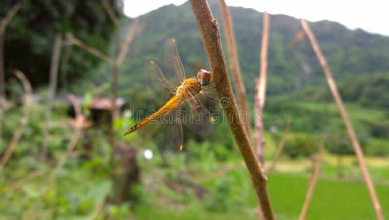 黄色睡觉蜻蜓 免版税库存图片