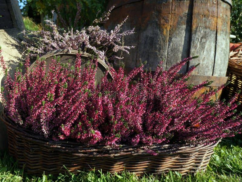 紫色石南花,石楠的秋天装饰开花 免版税图库摄影