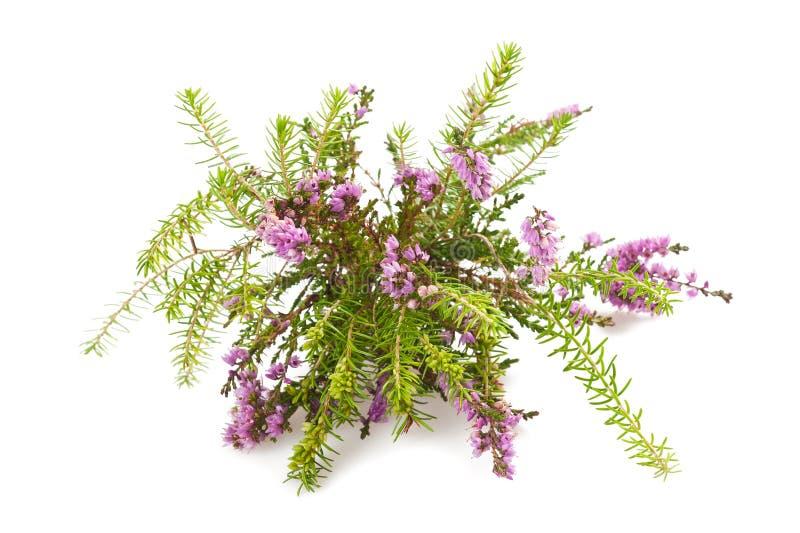 紫色石南花 免版税图库摄影