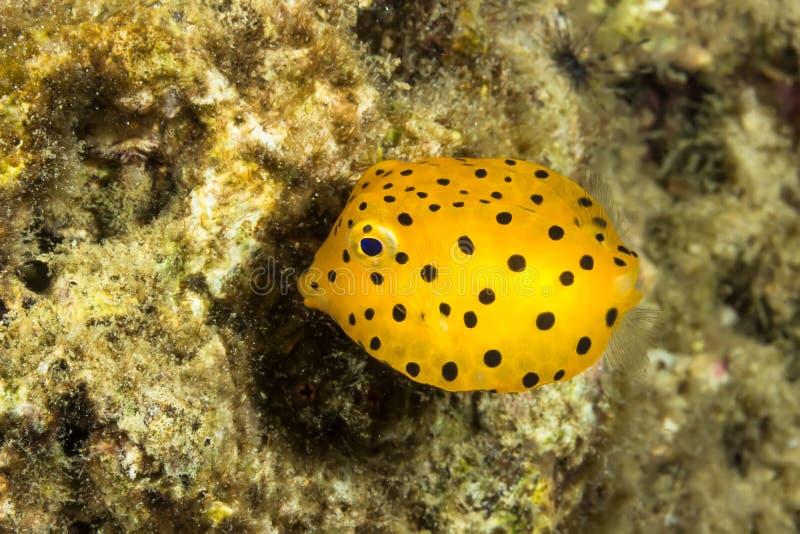 黄色硬鳞鱼, Ostracion cubicus 库存照片