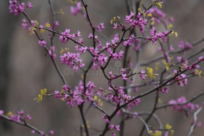 紫色秀丽 免版税库存照片