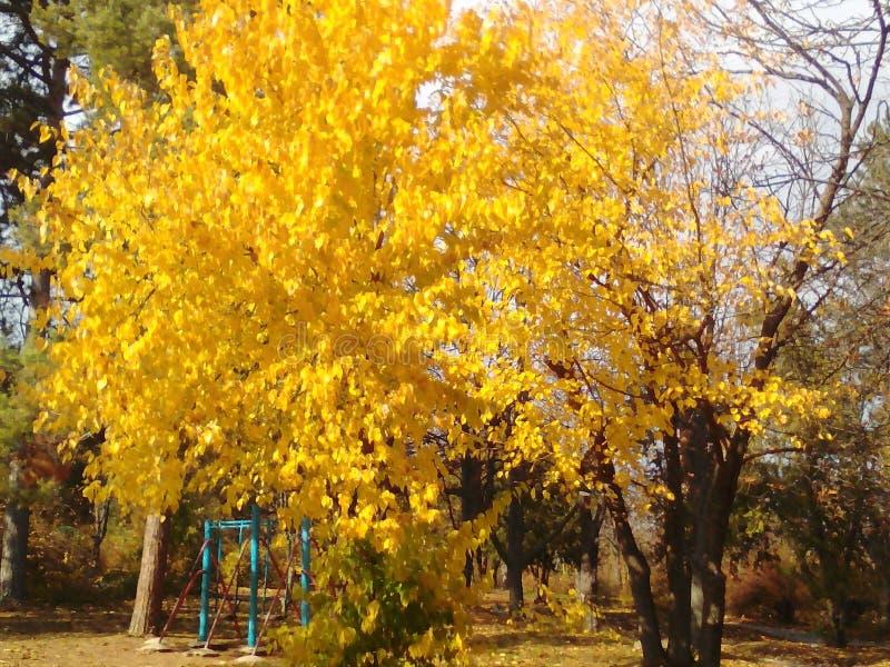 黄色秋天结构树 图库摄影