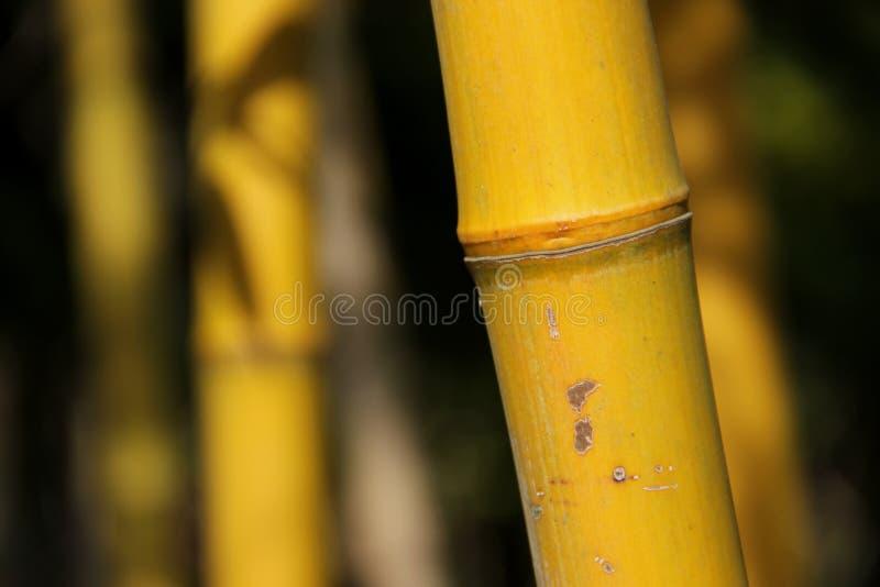 黄色竹子 库存图片