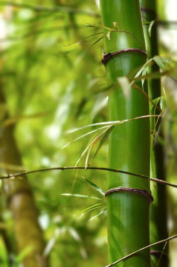 绿色竹树的部分在森林关闭的 免版税图库摄影