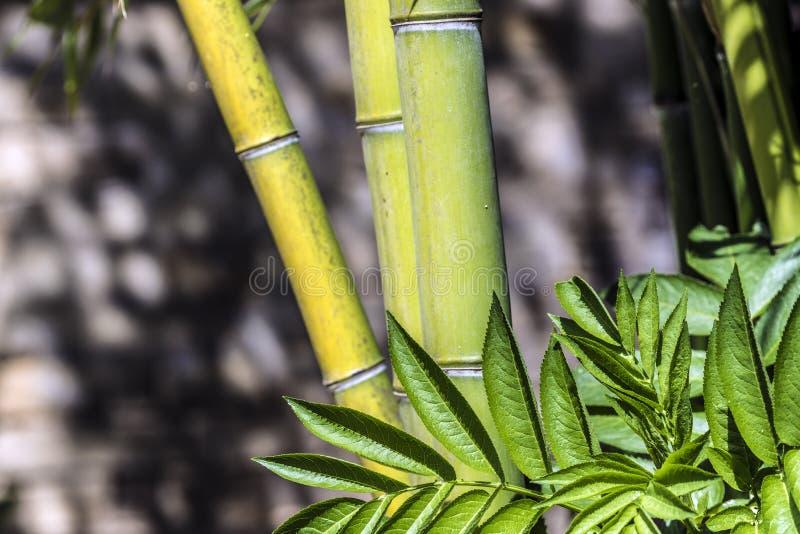 绿色竹藤茎小组2 库存图片