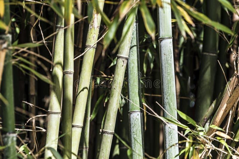 绿色竹藤茎小组3 图库摄影