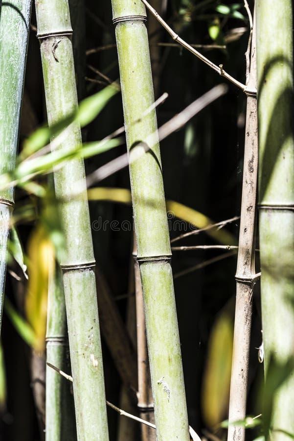 绿色竹藤茎小组5 库存照片