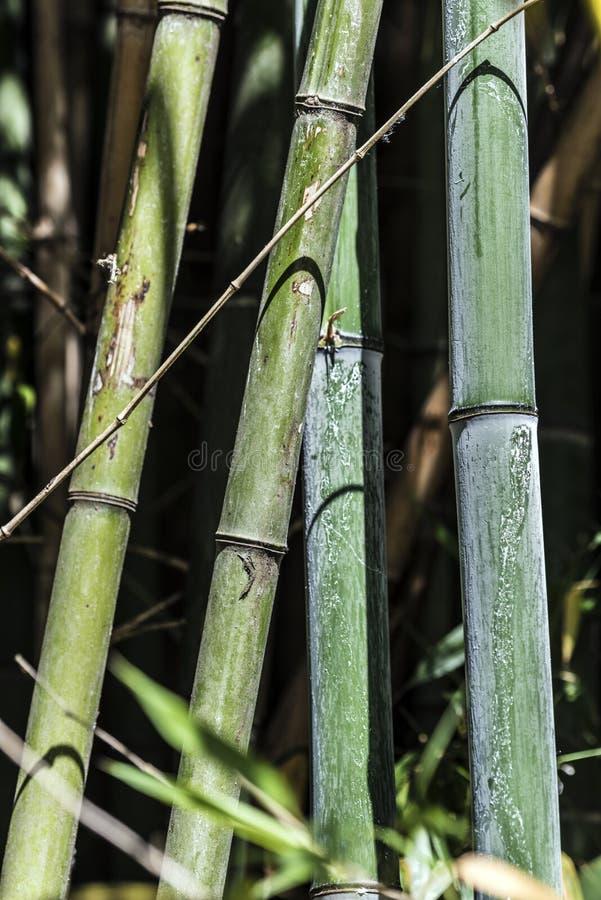 绿色竹藤茎小组6 免版税图库摄影