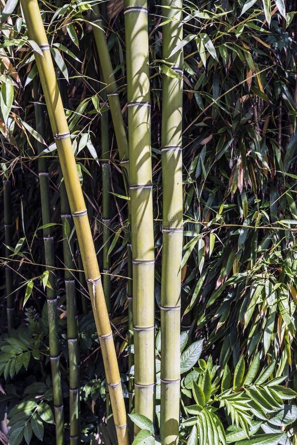 绿色竹藤茎小组1 库存图片