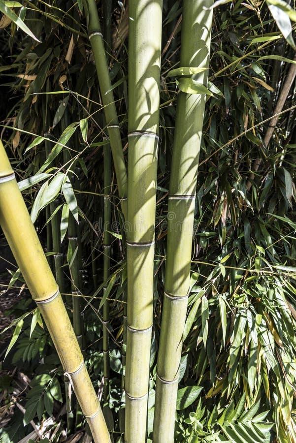 绿色竹藤茎小组7 库存图片