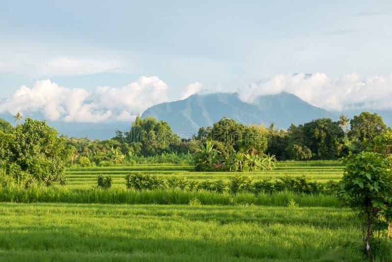 绿色米在巴厘岛的有火山的, Indones Lovina调遣 免版税库存图片