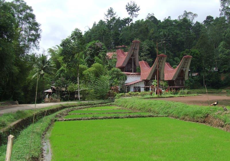 绿色米领域和tongkonan在塔娜Toraja 库存图片