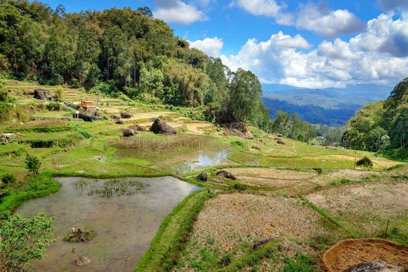 绿色米领域在塔娜Toraja 库存照片