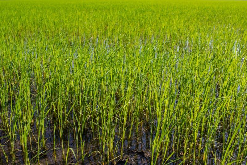 绿色米领域种植园需要站立在的水中 免版税图库摄影