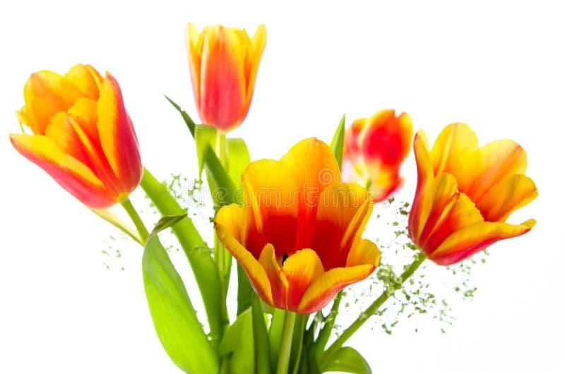 黄色红色郁金香花束  库存照片