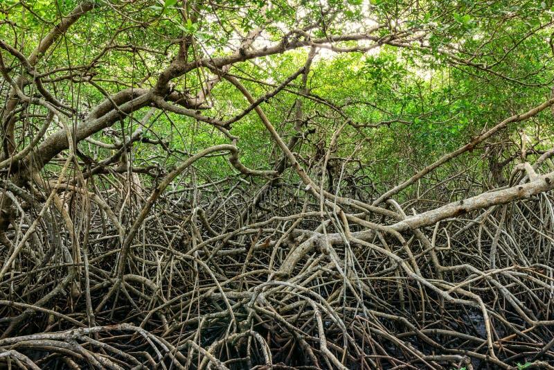 绿色美洲红树在多巴哥加勒比使密林密集的植被森林陷入沼泽 免版税库存图片