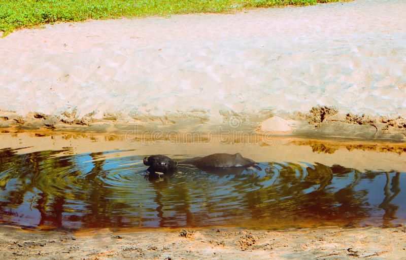 黑色美洲野牛享用水并且嚼反刍食物 免版税库存图片