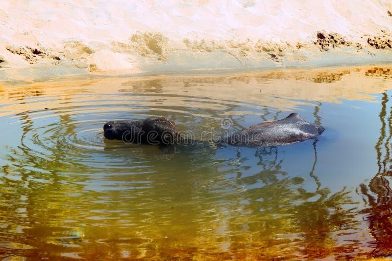 黑色美洲野牛享用水并且嚼反刍食物 图库摄影