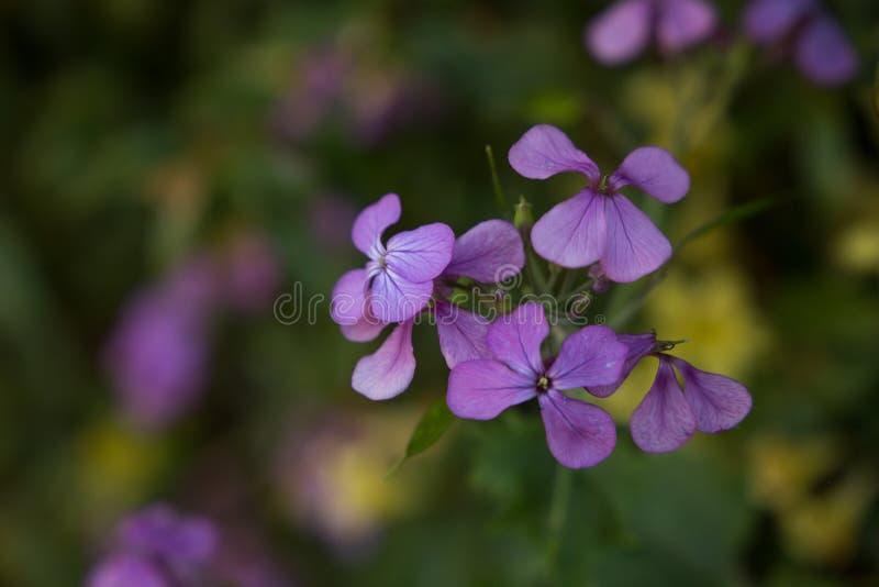 紫色群 图库摄影
