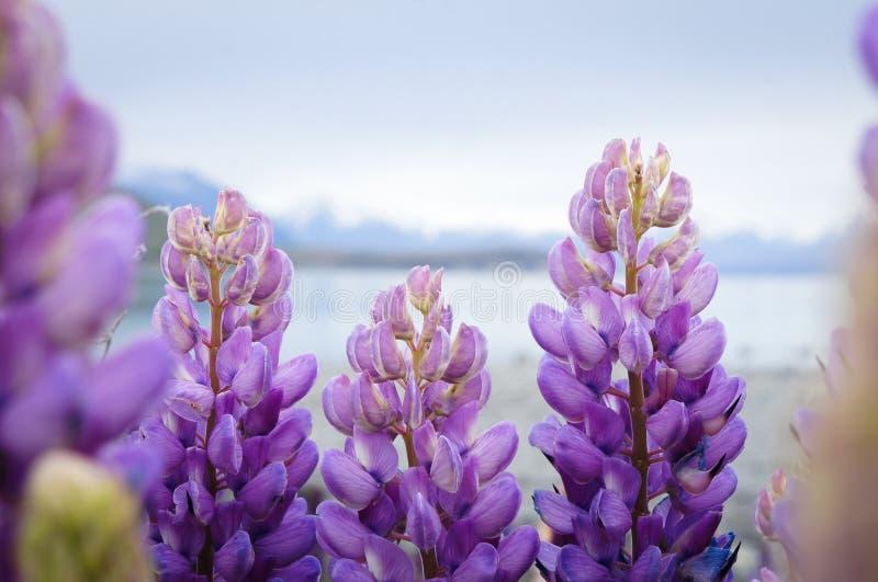 紫色羽扇豆花卉生长特卡波湖在新西兰 库存图片