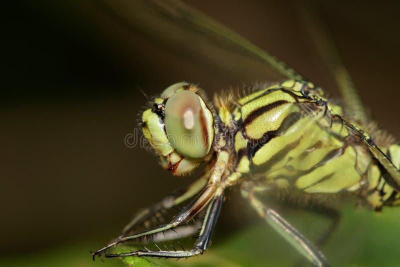女自�_绿色老虎漏杓蜻蜓orthetrum沙芬的图象