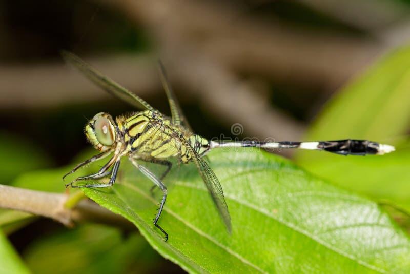 绿色老虎漏杓蜻蜓Orthetrum沙芬的图象 免版税库存照片