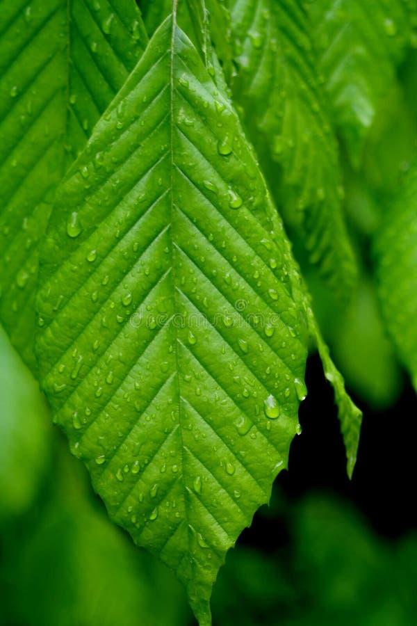 绿色至尊 图库摄影