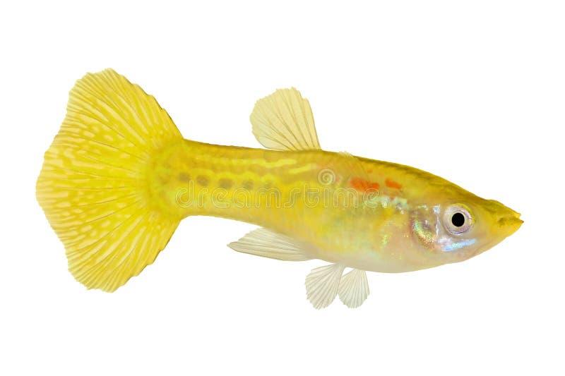 黄色色彩艳丽的胎生小鱼Poecilia网状水族馆绿锦鱼 库存图片