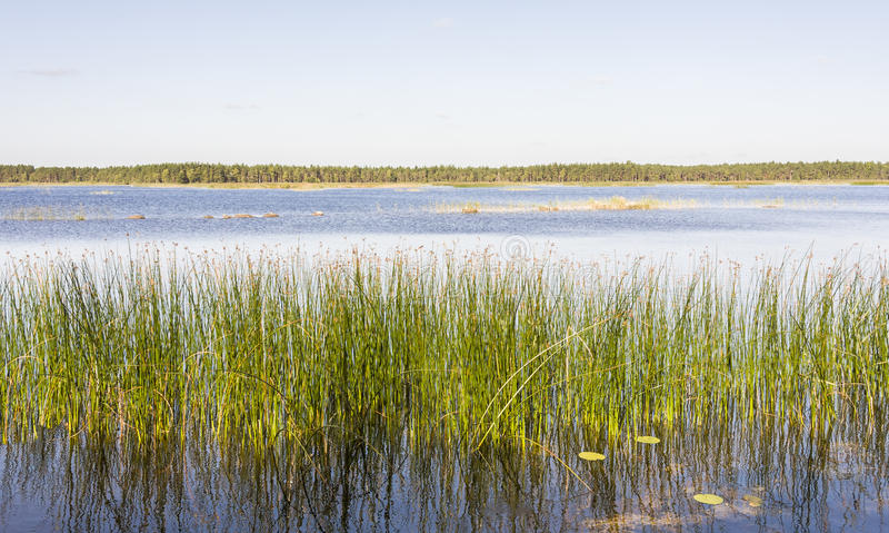 绿色芦苇全景在湖增长 库存照片