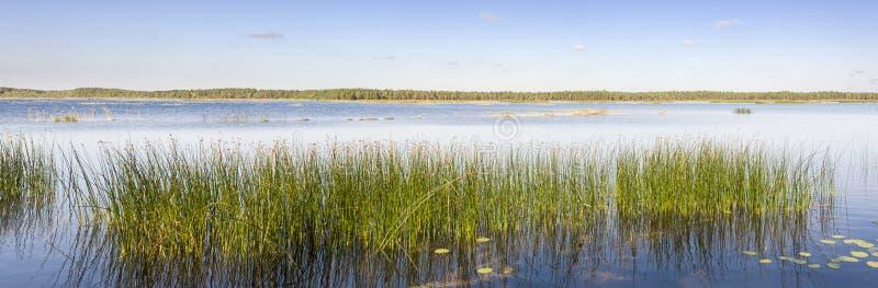 绿色芦苇全景在湖增长 库存图片