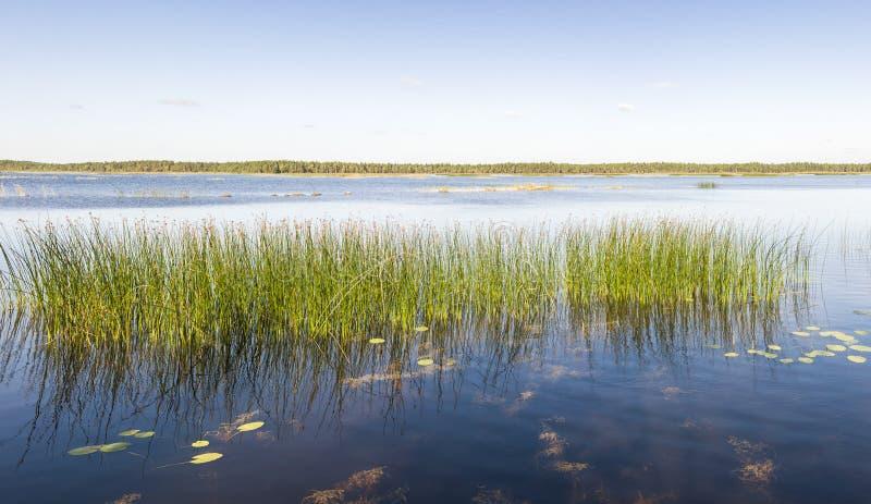 绿色芦苇全景在湖或海增长 库存照片