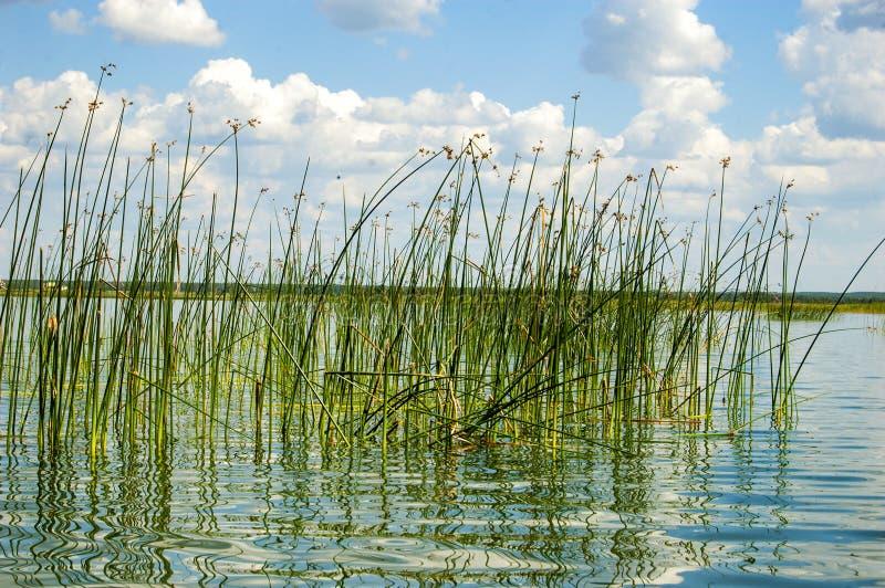 绿色芦苇在湖 库存照片
