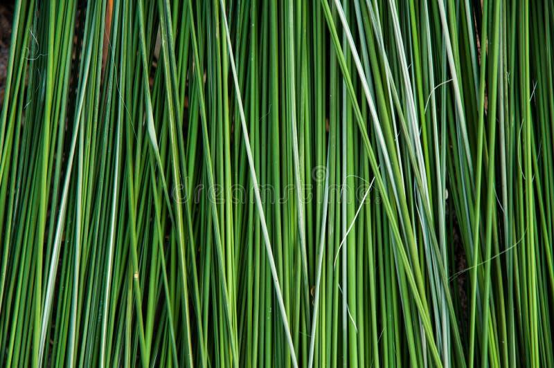 绿色芦苇背景 库存照片