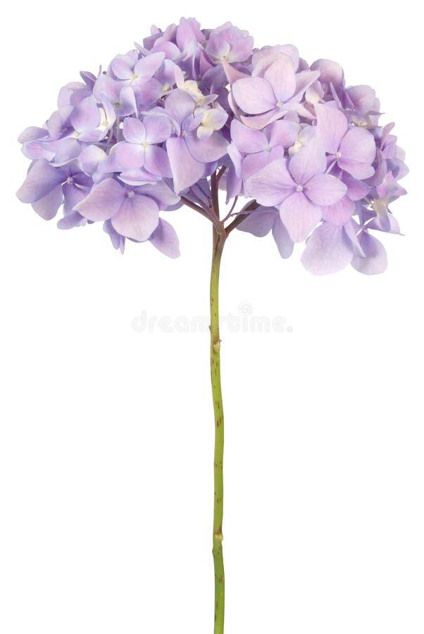 紫色花八仙花属(裁减路线) 库存照片