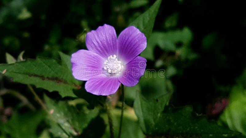 紫色花哥斯达黎加 免版税库存图片