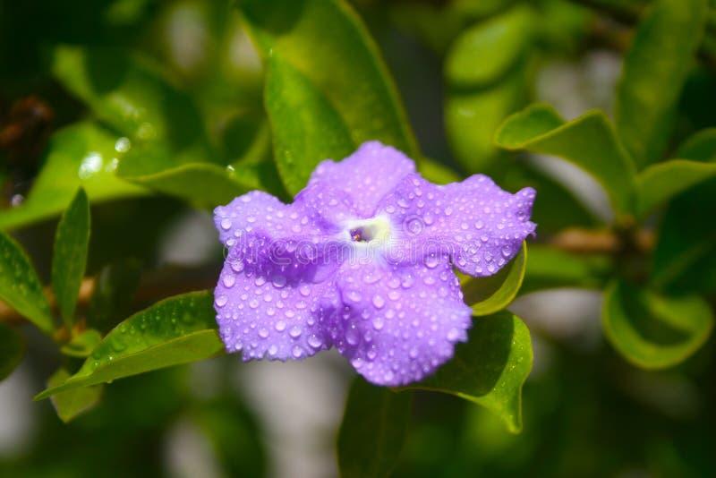 紫色花在下雨以后的泰国 库存照片