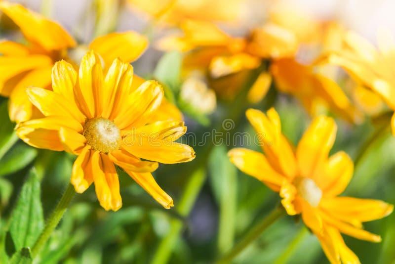 黄色花在夏天庭院里 库存照片