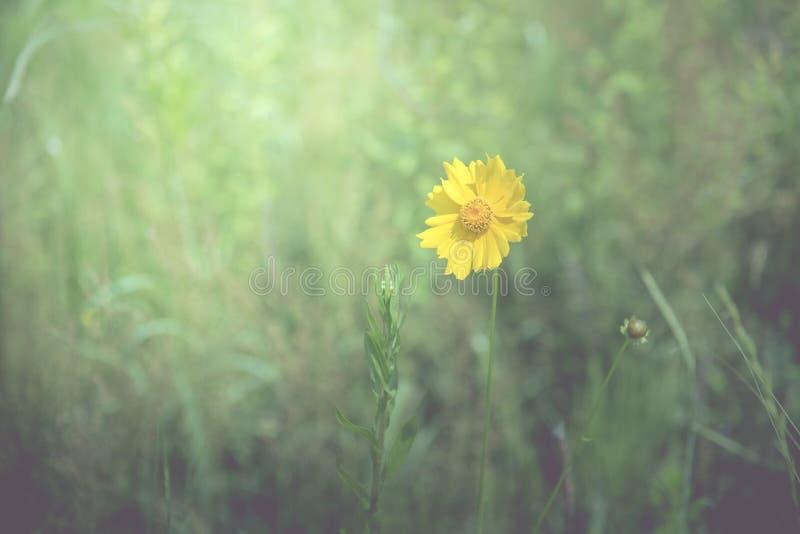 黄色花在春天在草地,葡萄酒口气中间的背景 免版税库存图片