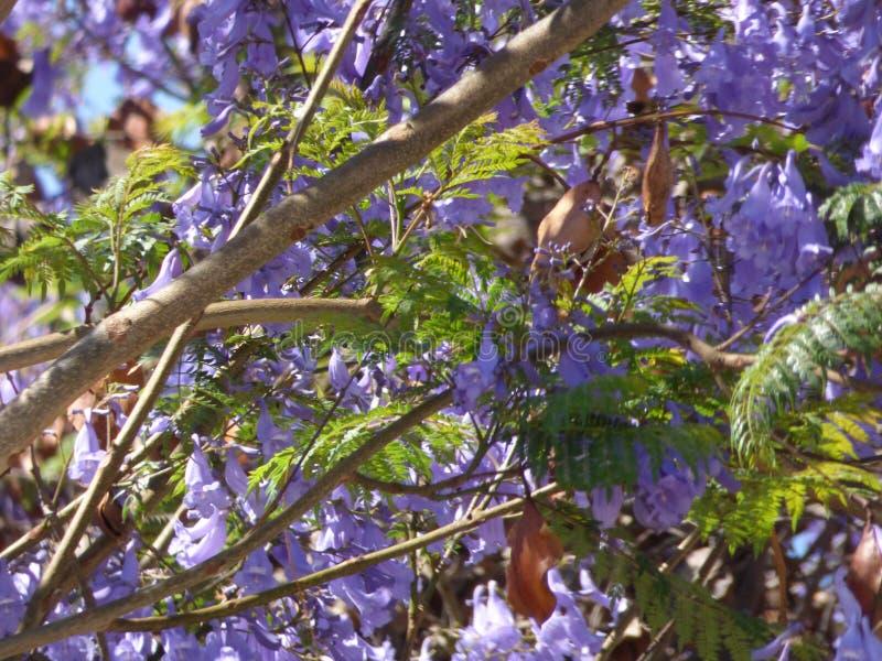 紫色花在Ovalle,智利 免版税库存图片